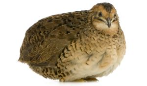 Japanese Quail - Coturnix japonica in front of a white background